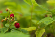 Close Up Of Wild Strawberries / Wood Strawberries On A Small Bush In A Forest.