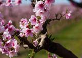 Close-up  blossoming of  peach  trees on a  meadows of Europe