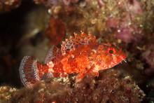 Madeira Rockfish, Scorpaena Maderensis