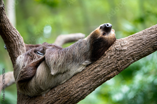 Stampa su Tela  sloth lies on a tree