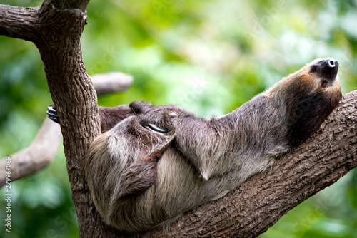 Photo sloth lies on a tree