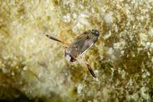 Notonectidae Is A Cosmopolitan...