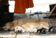 Two Cute Red Dogs Sleeping On The Wooden Porch