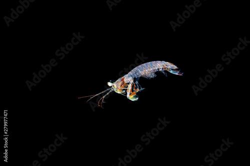 Fototapeta  juvenile mantis shrimp during blackwater dive