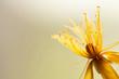 canvas print picture - Gelbe Blüte des Johanniskraut ( Hypericum ) - Viel Platz für Text