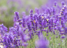 Closeup Violet Lavender Flowers With Bee On Field. French Lavender In The Garden, Soft Light Effect.