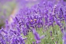 Closeup Violet Lavender Flower...