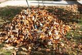 Fototapeta Kawa jest smaczna - Pile of fallen autumn leaves in the yard
