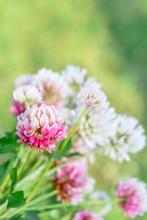 White Clover Aka Trifolium Rep...