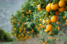 Valencia Oranges On Tree With Blurred Background Of Laden Trees.