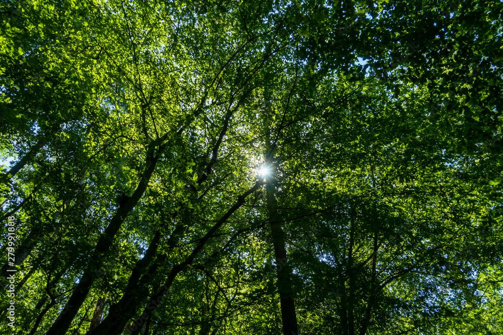 Fototapeta Las korony drzewo drzewa światło promienie słońca