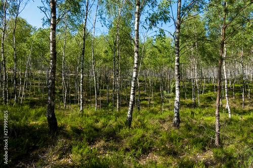Brzoza brzozy las brzozowy brzózki zielony las tapeta lato - 279995855