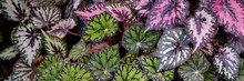 Multi-colored Begonia Leaves O...