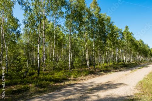Brzoza brzozy las brzozowy brzózki zielony las tapeta lato - 279997085