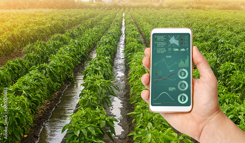 Fototapeta A hand is holding a smartphone with infographics on the background of traditional watering pepper plantations. Farming and agriculture. Cultivation, care and harvesting. agricultural products for sale obraz