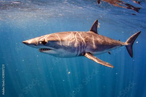Shortfin Mako Shark Poster Mural XXL
