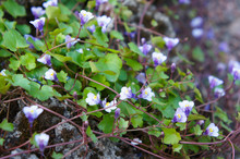 Cymbalaria Muralis Ivy-leaved Toadflax Or Coliseum Ivy Purple Flowers