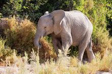 Elephant Amidst Plants, Brandberg, Damaraland, Namibia