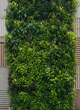 Green Wall, Vertical Garden. Background With Lush Foliage.