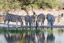 Group Of Zebra Drinking At Wat...