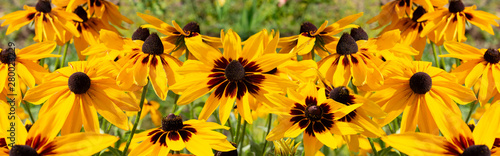 Valokuva  Black-eyed Susan Rudbeckia hirta yellow flower, banner background wallpaper