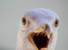 Seagull Head Close Up