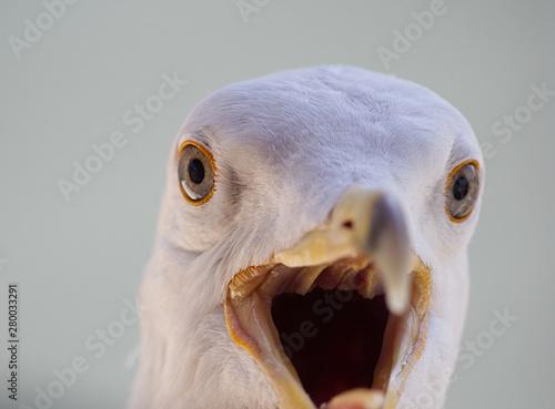 Leinwand Poster seagull head close up