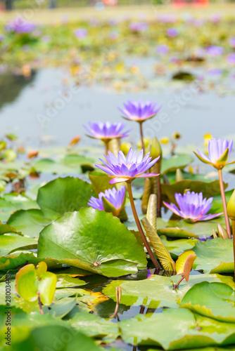 Fotomural Water lily,Lotus or Waterlily flower in pool