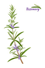 Rosemary (Rosmarinus Officinalis). Leaves And Flowers - Vector