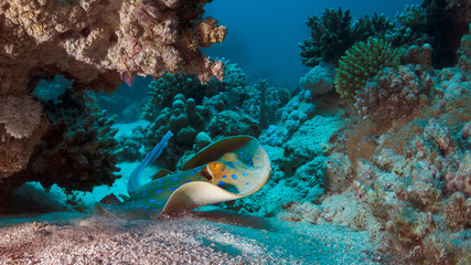 Blue-spotted stingray or The bluespotted ribbontail ray (Taeniura lymma) , Red Sea Egypt.