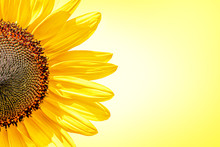 Half Of Sunflower On Yellow Background With Lighter Center Of Image. Close Up With Copy Space.