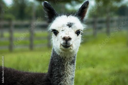 Montage in der Fensternische Lama Gray alpaca closeup