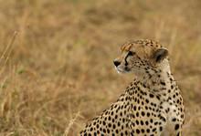 A Cheetah Relaxing After Eating A Meal In The Savannah, Masai Mara, Kenya