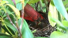 Male Cardinal Bird Is Feeding A Green Worm To His Very Young Baby Chicks In Their Birds Nest.
