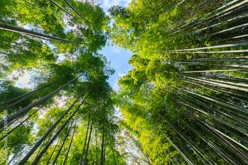 Obraz na plátně  Japanese bamboo forest