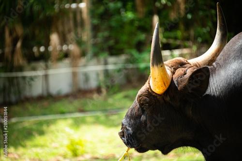 Valokuvatapetti Closeup dignified big beautiful horns Bull enjoy bright sunny day and green grasses background