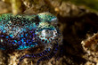 Bobtail squid (order Sepiolida) are a group of cephalopods closely related to cuttlefish