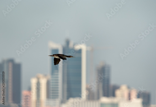 The Socotra cormorant flying with highrise building at the backdrop, Bahrain Wallpaper Mural