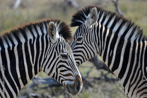 Photo Stands Zebra zebras head to head in Kruger National Park, South Africa