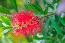 The Red Melaleuca Landscape In Full Bloom In The Summer Garden