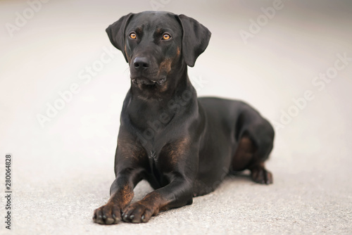 Young black with brindle trim Louisiana Catahoula Leopard