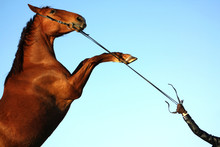 Chestnut Horse In A Bridle Rea...