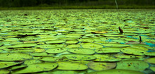 Pond Full Of Green Lily Pads