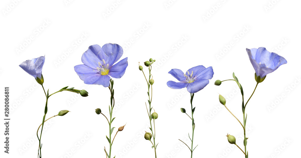 Fototapety, obrazy: Flax flowers and seed capsules isolated on white background. Linum usitatissimum (common flax or linseed).