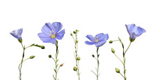 Flax Flowers And Seed Capsules Isolated On White Background. Linum Usitatissimum (common Flax Or Linseed).