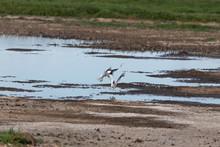 Squabbling Gulls 1
