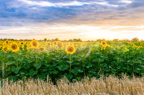 Spoed Fotobehang Meloen Sunflower field at sunset. Blooming yellow sunflowers against a colorful sky with sunrays of setting sun. Summer rural landscape. Concept of rich harvest