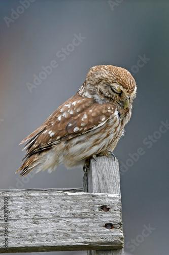 Montage in der Fensternische Eule ruhender Steinkauz (Athene noctua) - Little owl