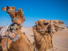 Camel Head Profile In The Tuni...