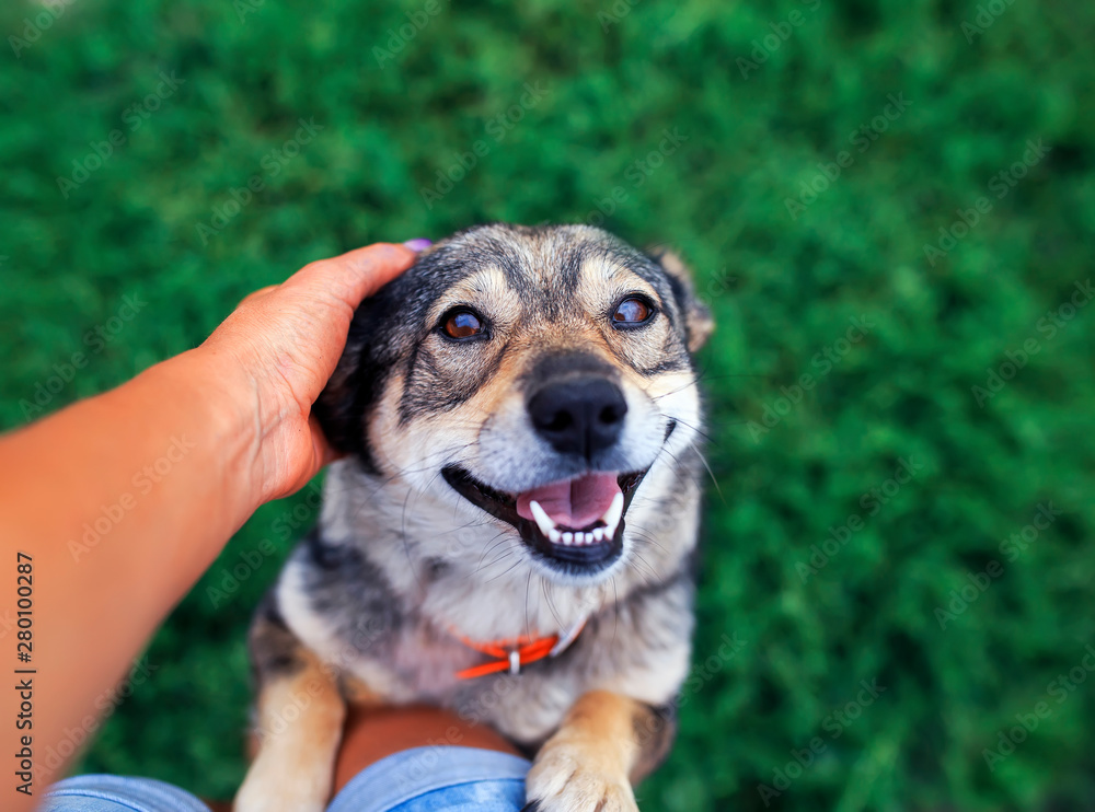 Fototapeta cute brown dog leaps once legs on its feet human and requests his caress and scratching for ear